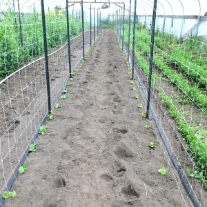 We got the first planting of cucumbers going in the greenhouse.