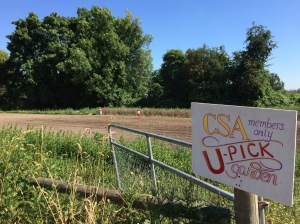 You can find the U-Pick Garden next to the cow barn. More flowers, cherry tomatoes, strawberries, and beans to come!