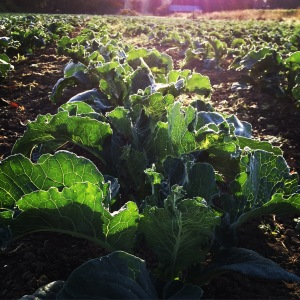 The big crop of Fall and Winter Brassicas are looking really good! We should be picking in October, and into the winter!