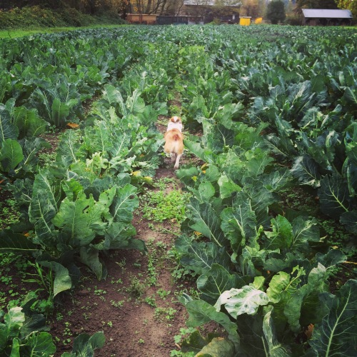 Mario and I scoping out the Brassicas for our first Winter CSA harvest. Hard to believe we have such a beautiful, bountiful harvest the first week of November!