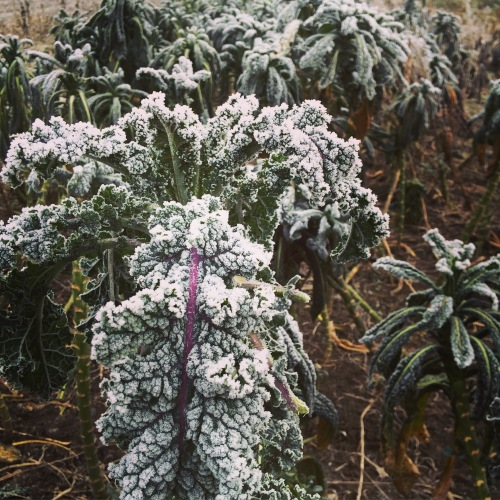 Frozen fog on Rainbow Lacinato kale.