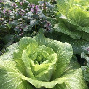 Napa Cabbage, planted in the greenhouse in September is ready to flower now in this early spring.