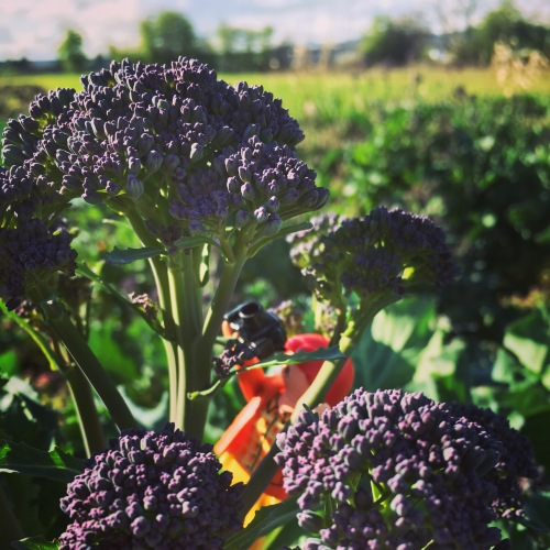 Purple Sprouting Broccoli looks like lilacs just getting ready to bloom. We sowed seeds last June, transplanted outside in July, and now we reap the fruits of all that labor. 9 months.